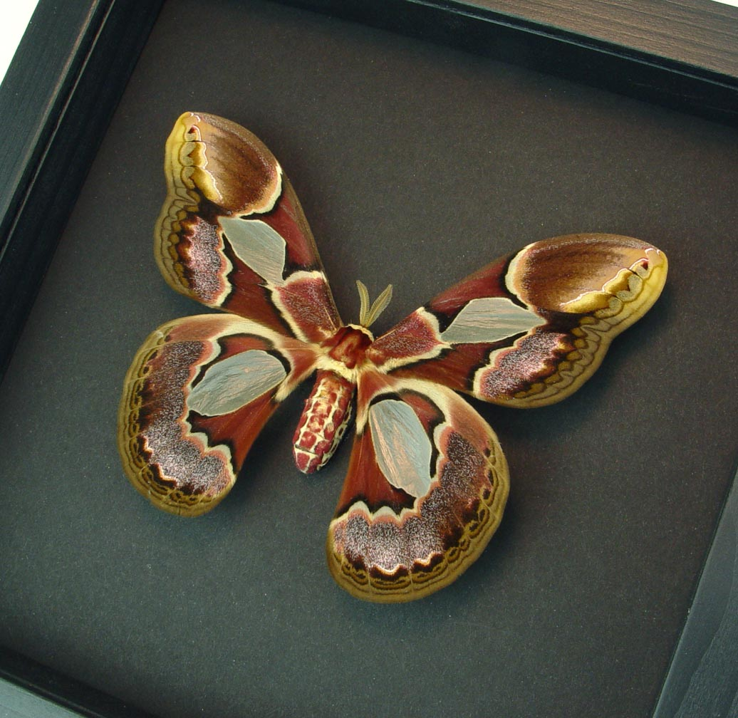 Rothschildia erycina female Framed Silk Moth Moonlight Display