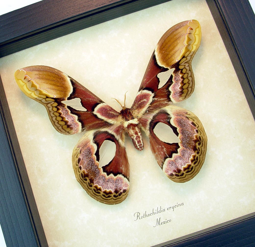 Rothschildia erycina male Framed Silk Moth ooak