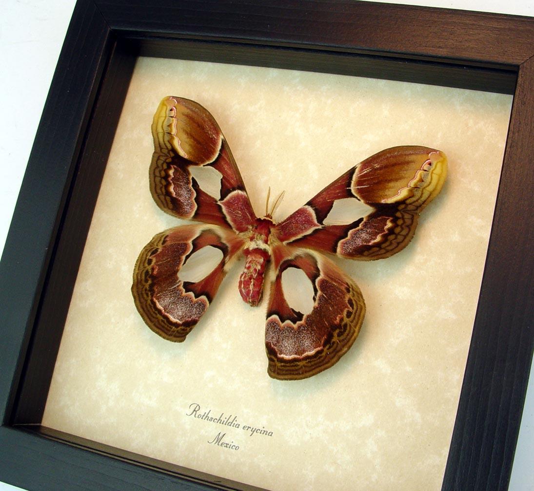 Rothschildia erycina female Framed Silk Moth ooak