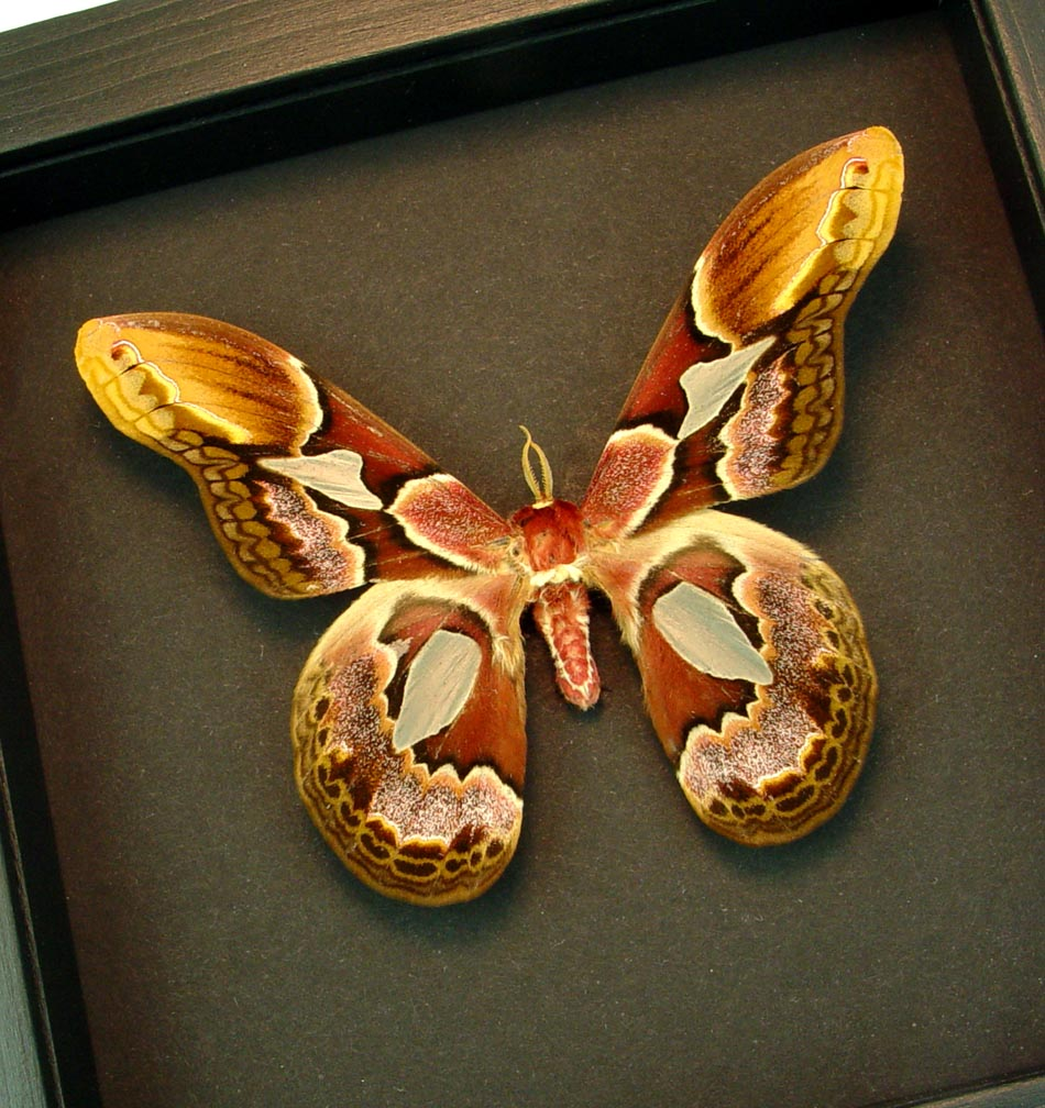 Rothschildia erycina male Silk Moth Moonlight Display ooak