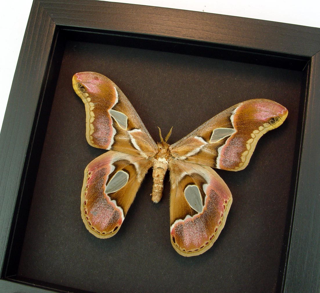 Rothschildia sp male Framed Silk Moth Moonlight Display ooak