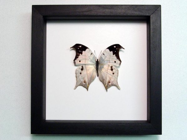 Salamis duprei Mother Of Pearl Butterfly Classic Black Display