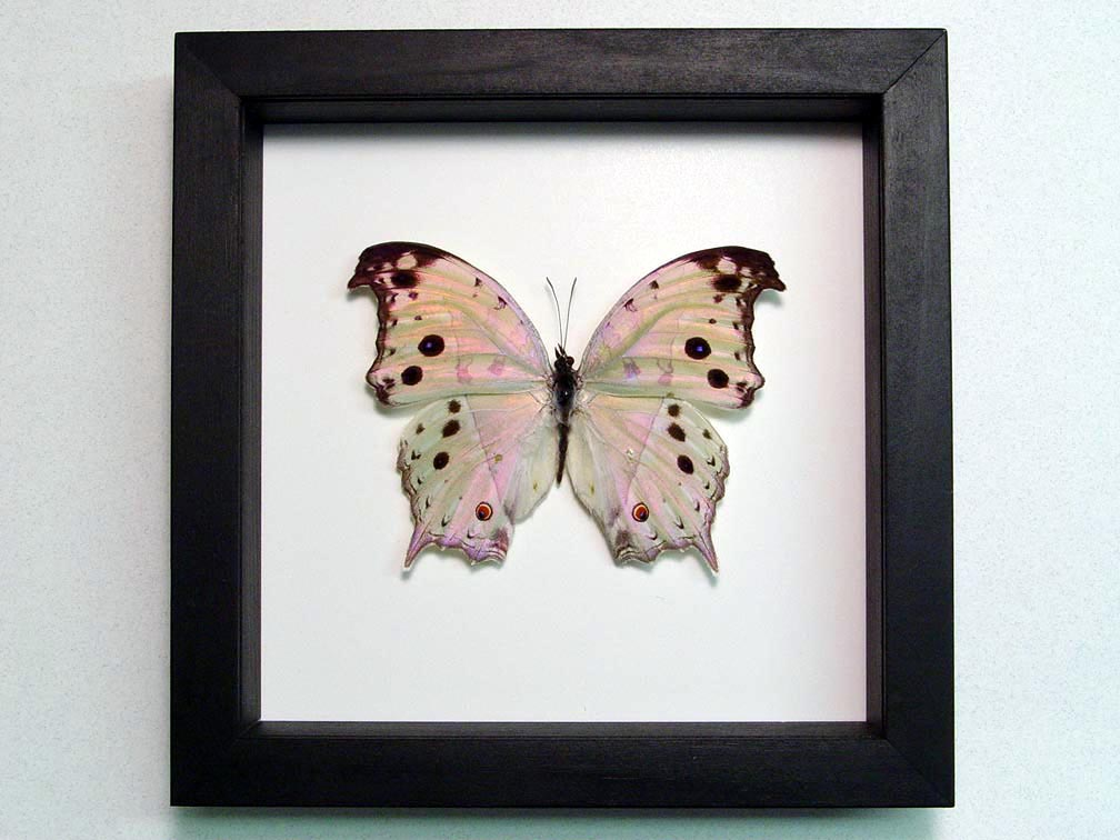 Salamis parhassus Mother Of Pearl Butterfly Classic Black Display