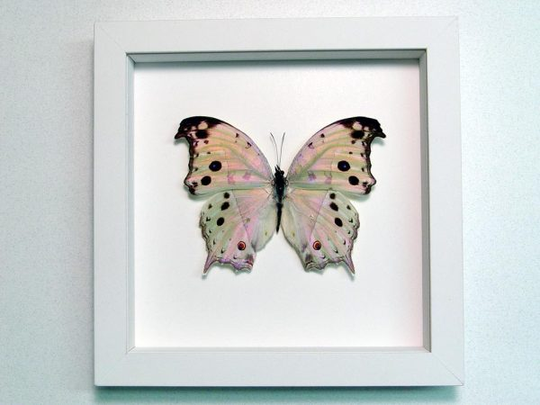 Salamis parhassus Mother Of Pearl Butterfly Vibrant White Display