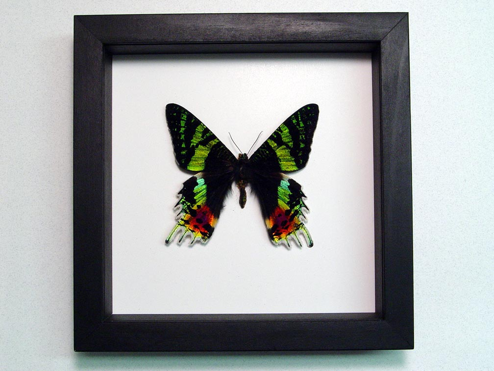 Sunset Moth Madagascar Moth Classic Black Displays