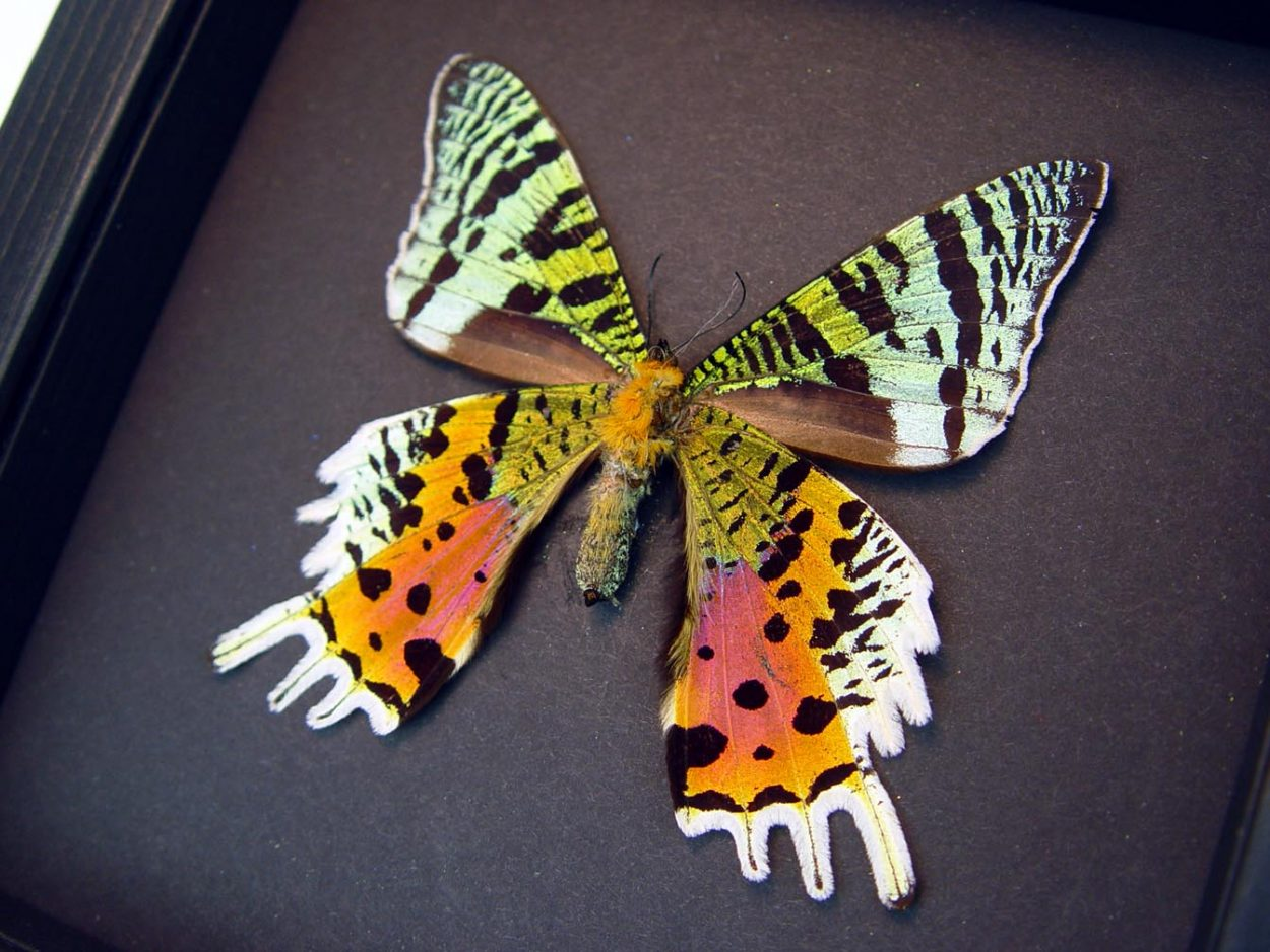 Sunset Moth Female Verso Madagascar Moth Moonlight Display ooak