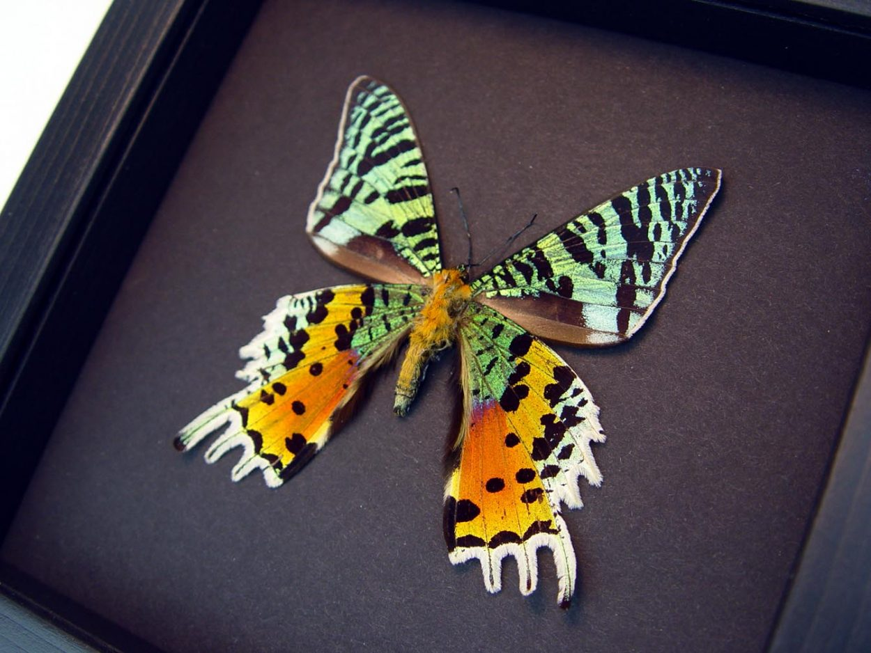 Sunset Moth Verso Madagascar Moth Moonlight Display ooak