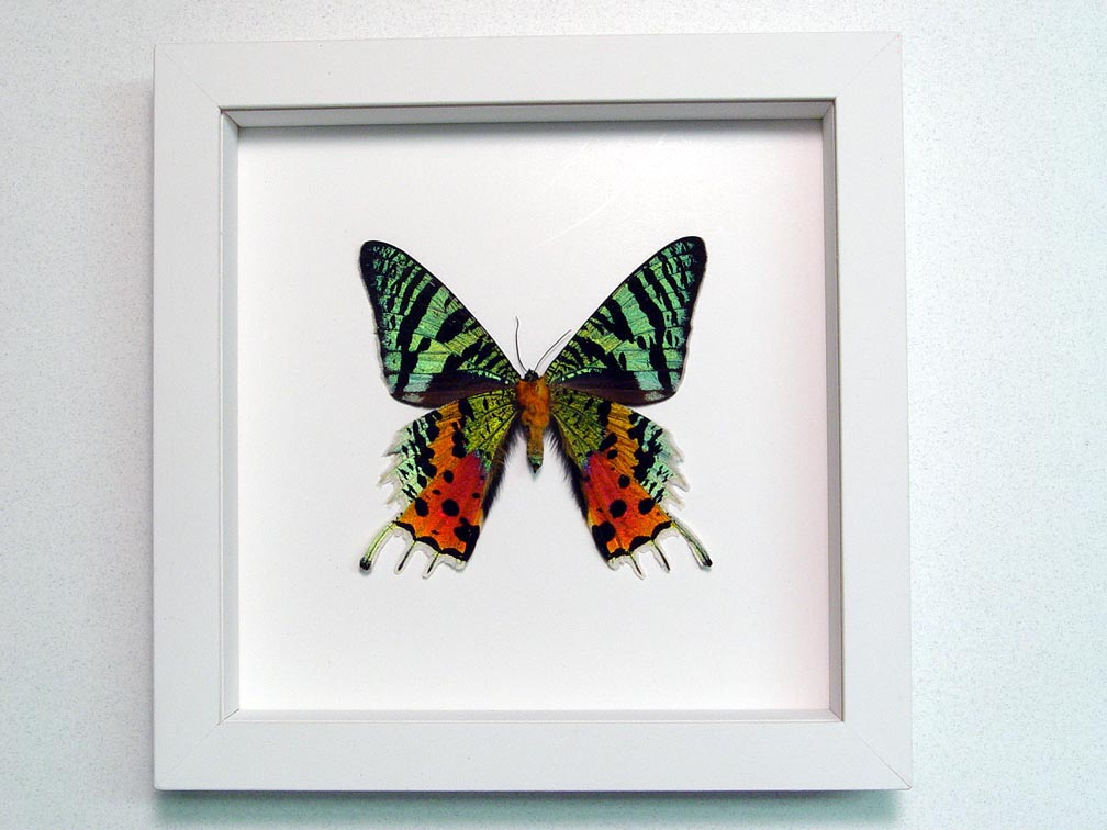 Sunset Moth Verso Madagascar Moth Vibrant White Display