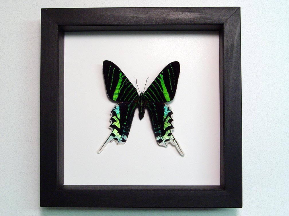 Urania Leilus Green Banded Urania Moth Classic Black Display