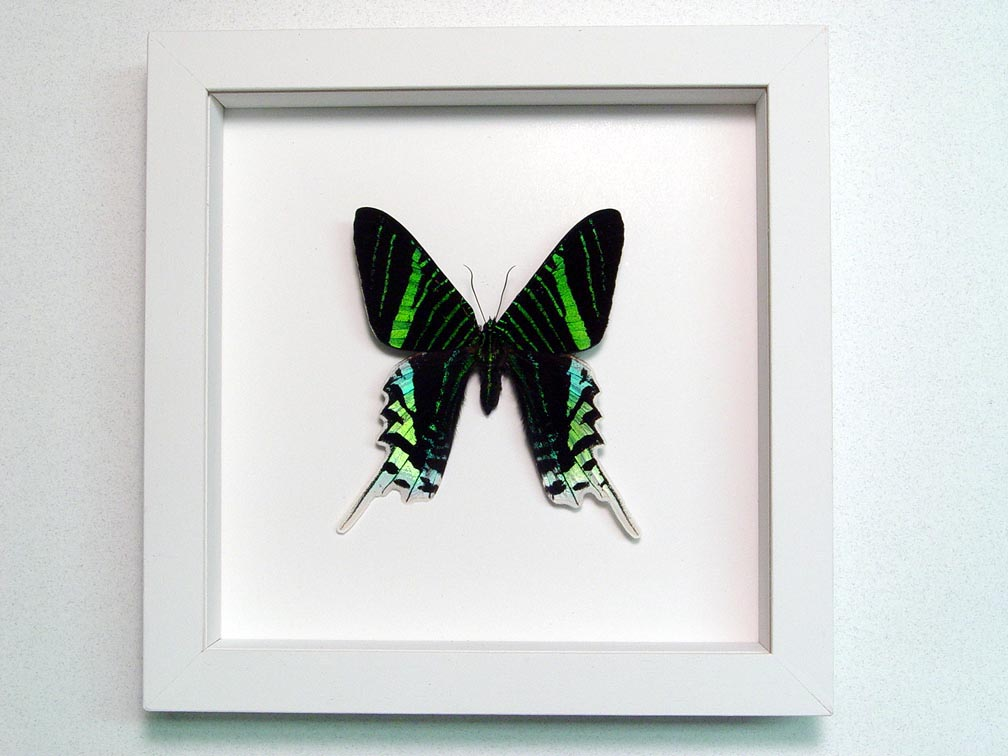 Urania Leilus Green Banded Urania Moth Vibrant White Display