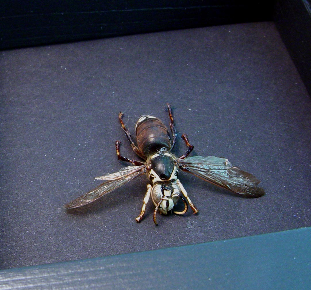 Vespula maculata Bald Face Hornet Moonlight Display ooak