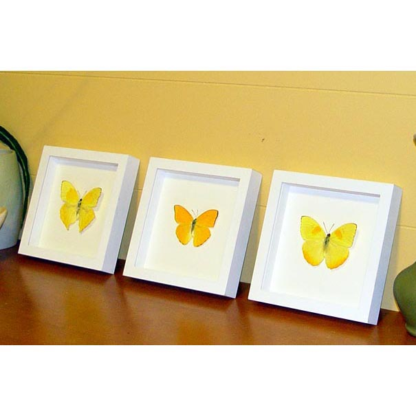 Orange Barred Sulpher Butterflies Set Of 3 Frames Vibrant White Displays
