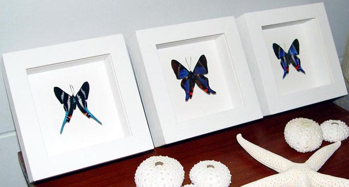 Blue Rhetus Swallowtail Butterflies Set 3 Frames Vibrant White Displays