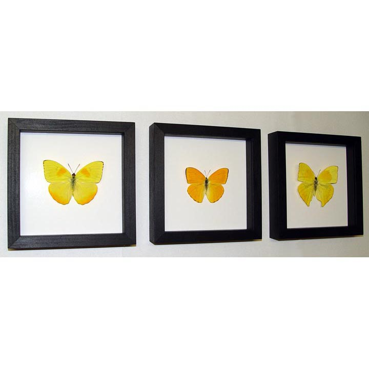 Orange Barred Sulpher Butterflies Set Of 3 Frames Classic Black Displays