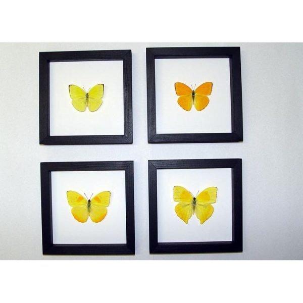 Orange Barred Sulpher Butterflies Set Of 4 Frames Classic Black Displays
