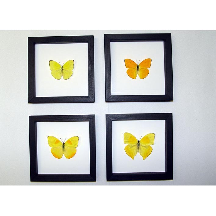 Orange Barred Sulpher Butterflies Set Of 4 Frames Classic Black Displays