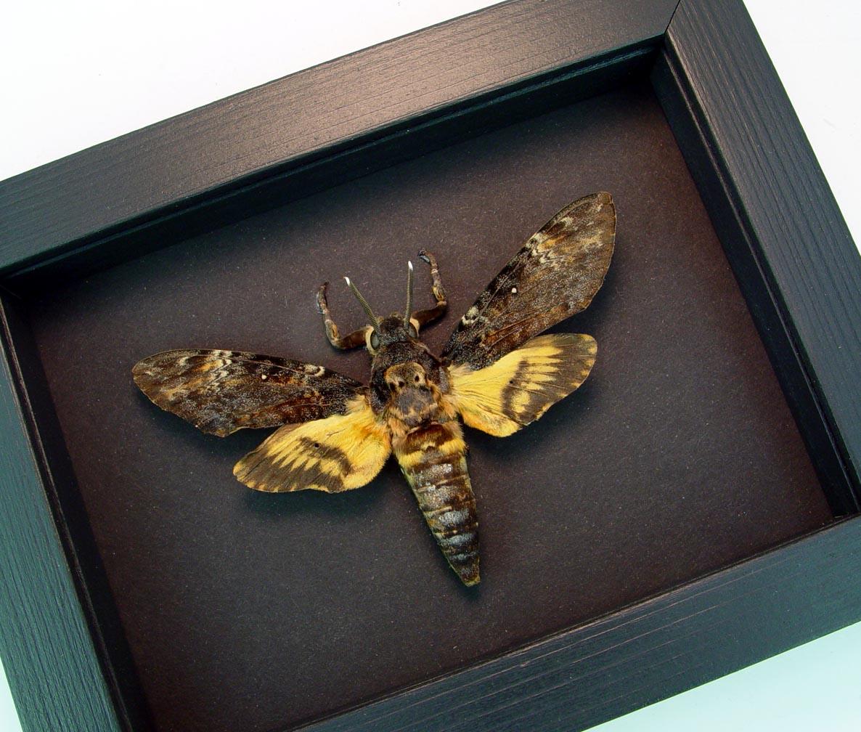 Death Head Moth Acherontia atropos male Moonlight Display ooak