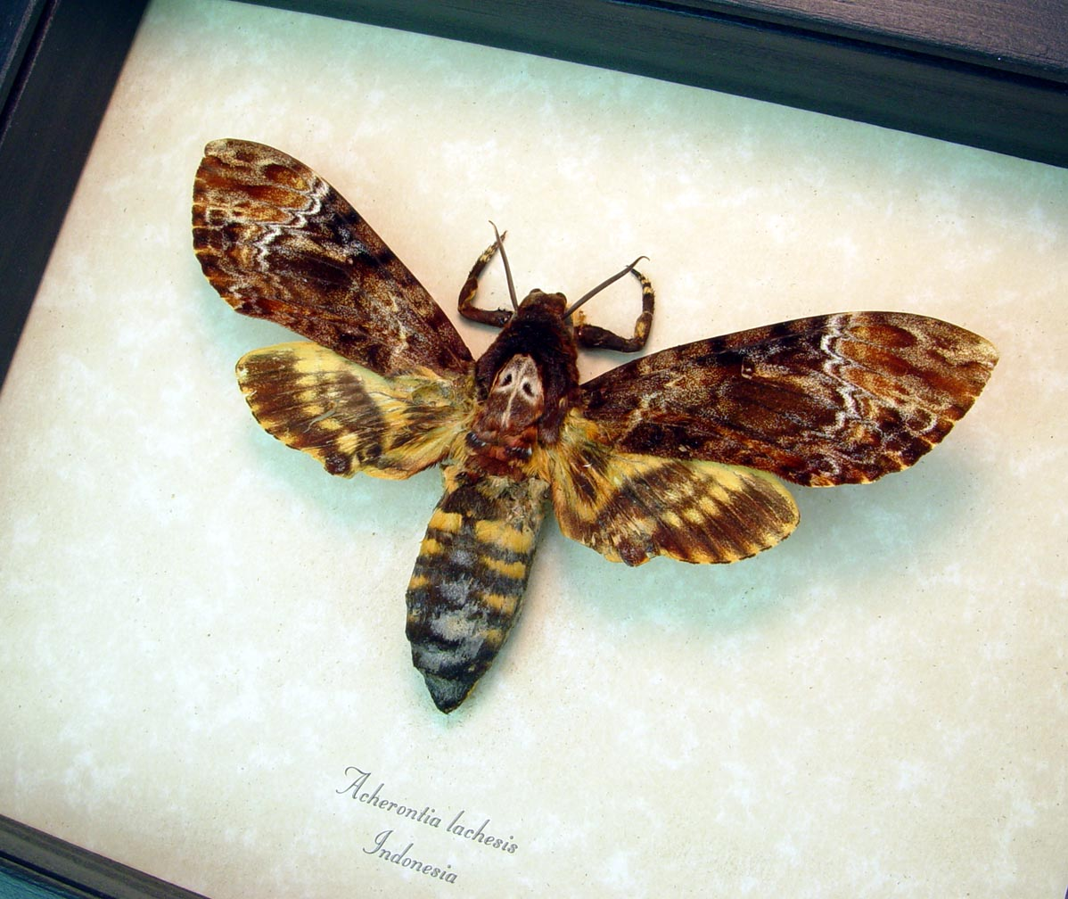 Death Head Moth Female Acherontia lachesis ooak