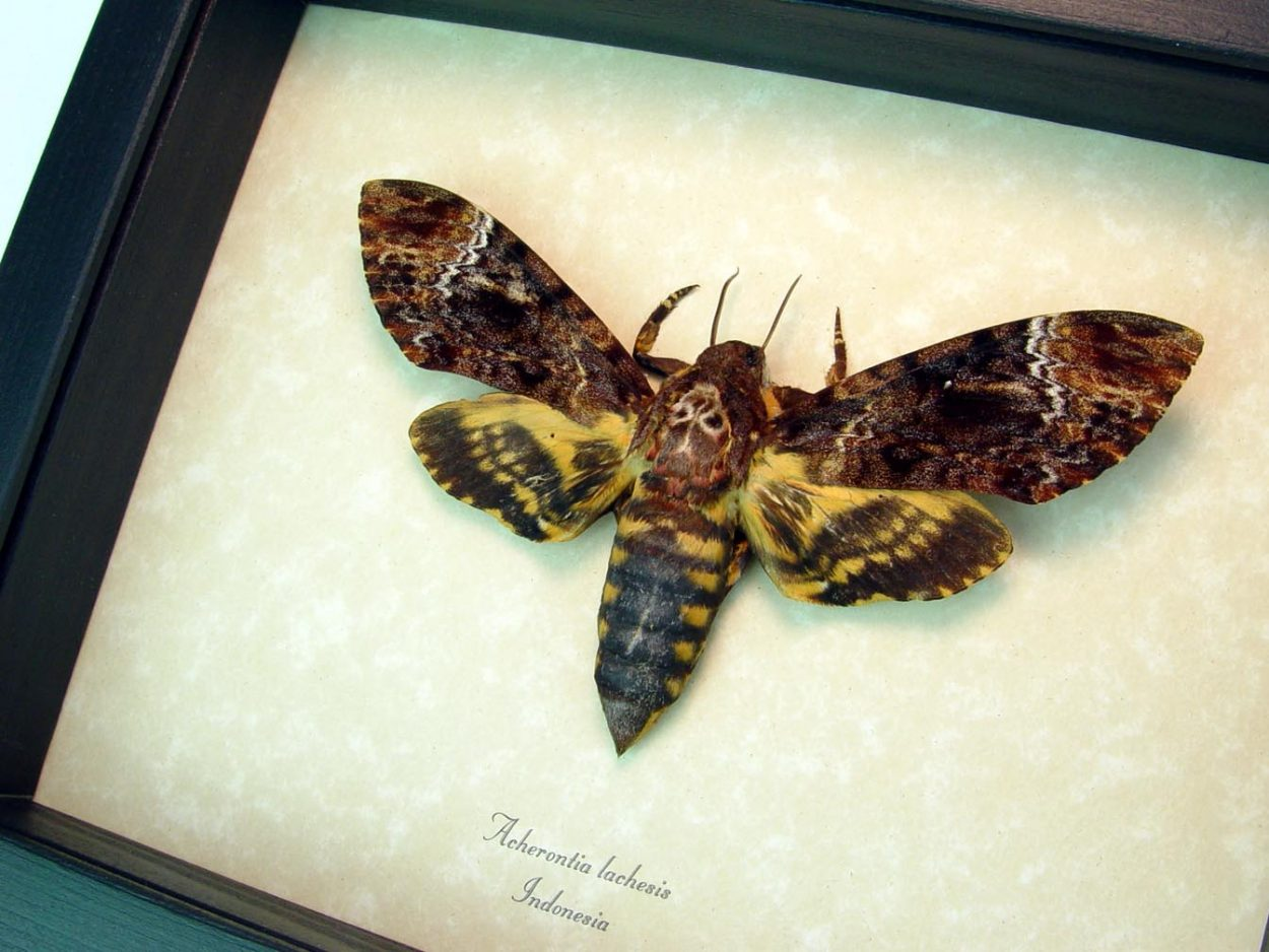 Framed Death Head Moth Female Acherontia lachesis ooak