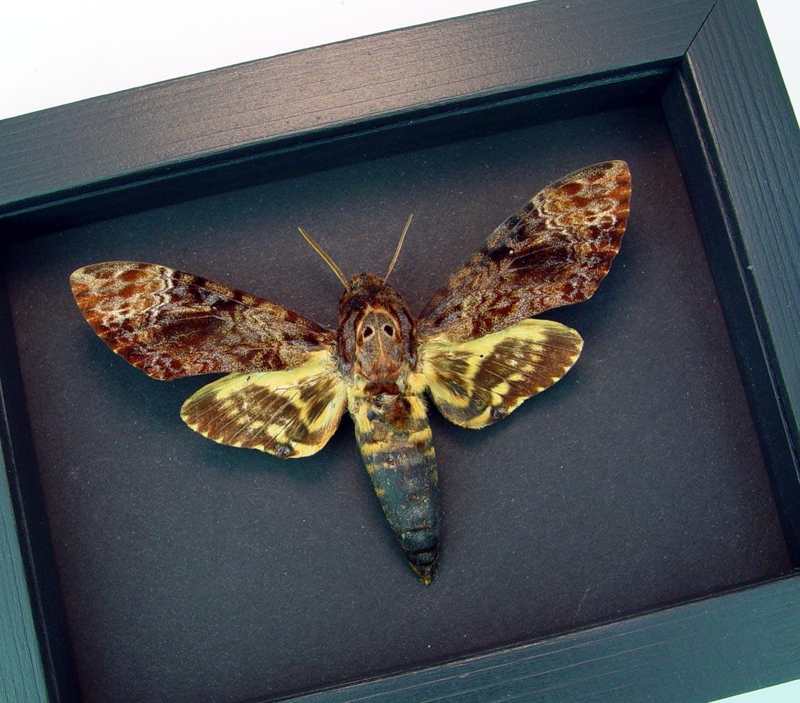Framed Death Head Moth Acherontia lachesis male Moonlight Display ooak
