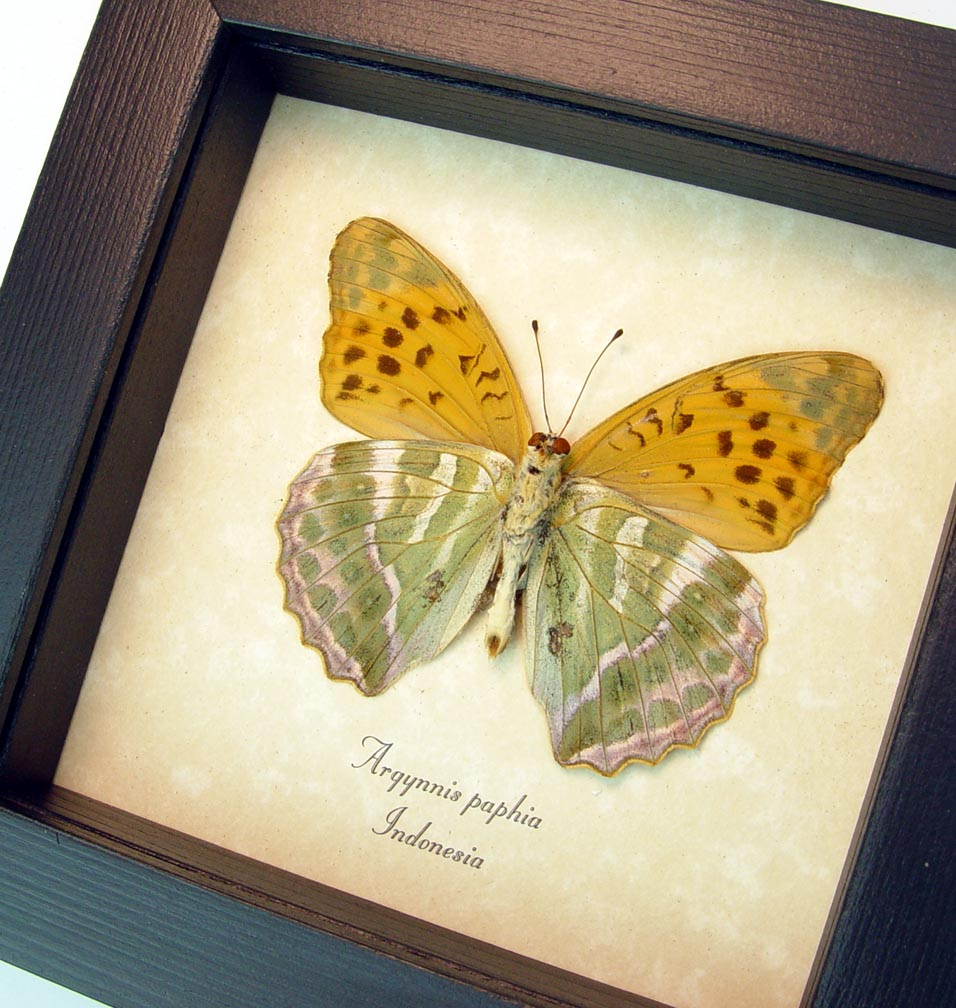Argynnis paphia Silver Washed Fritillary Butterfly ooak