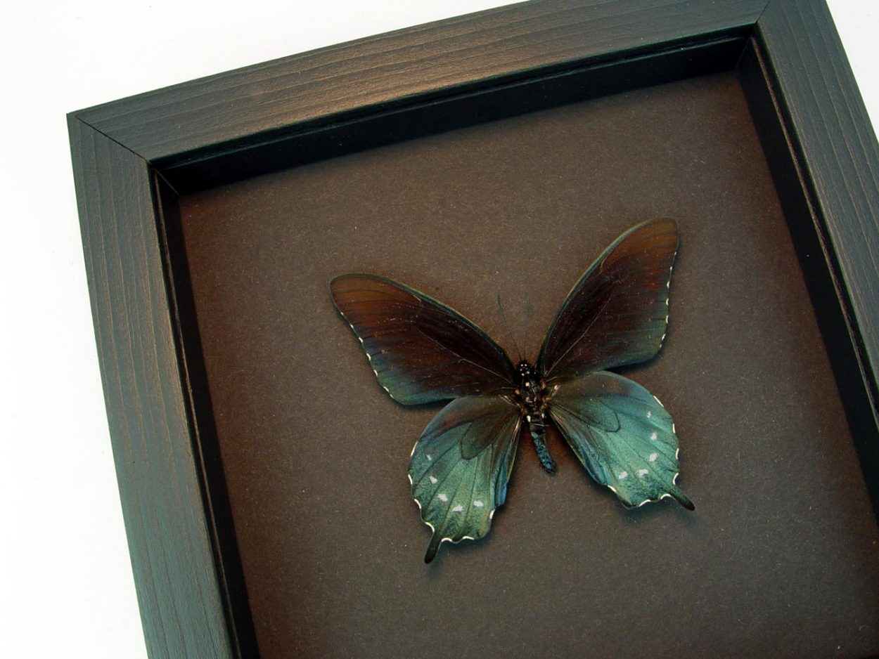 Pipevine Swallowtail Butterfly Battus Philenor Moonlight Display ooak