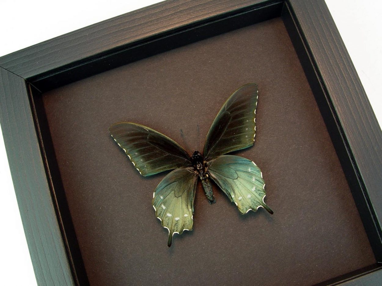 Framed Pipevine Swallowtail Butterfly Battus Philenor Moonlight Display ooak