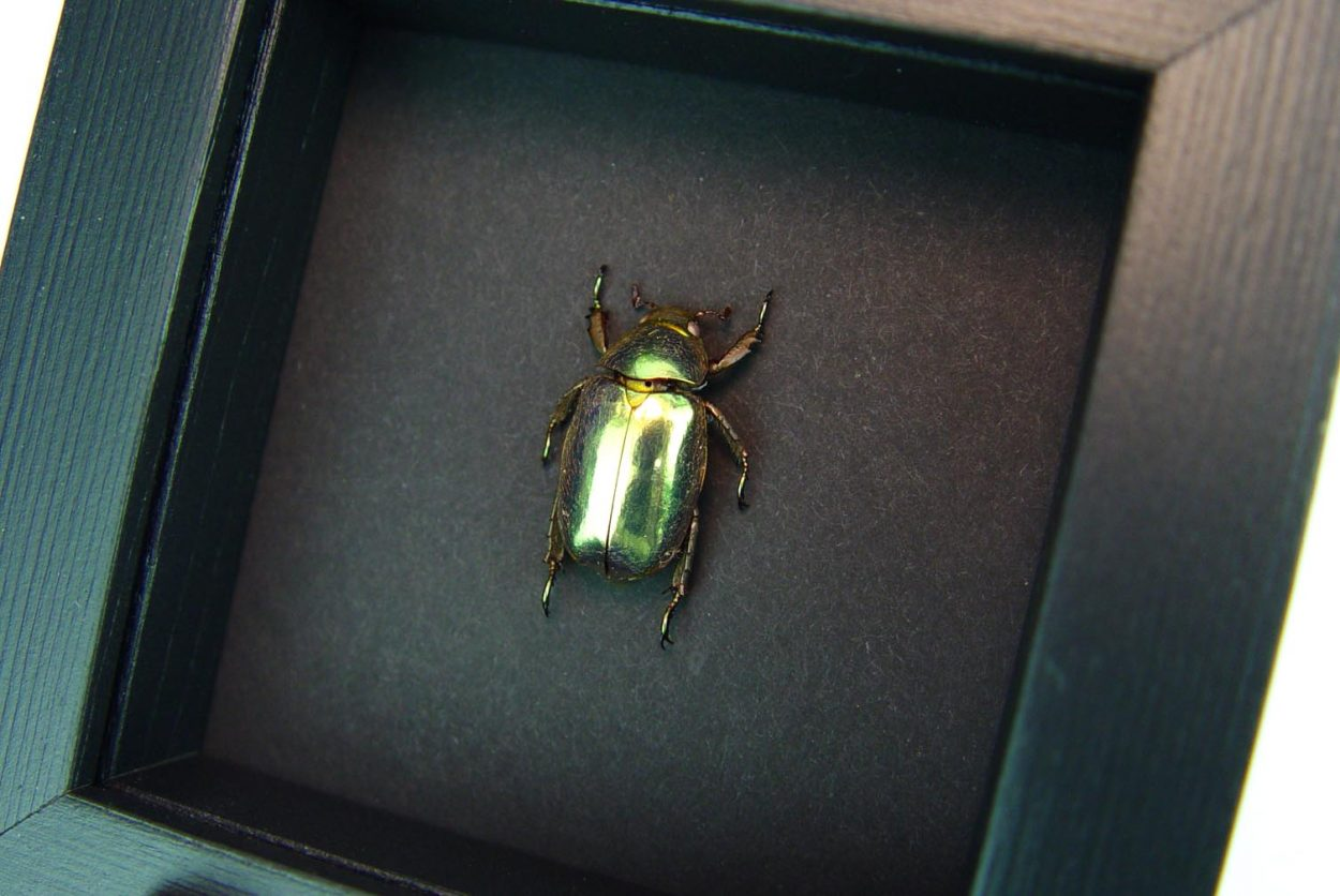 Gold Scarab Beetle Framed Chrysina resplendens Moonlight Display ooak