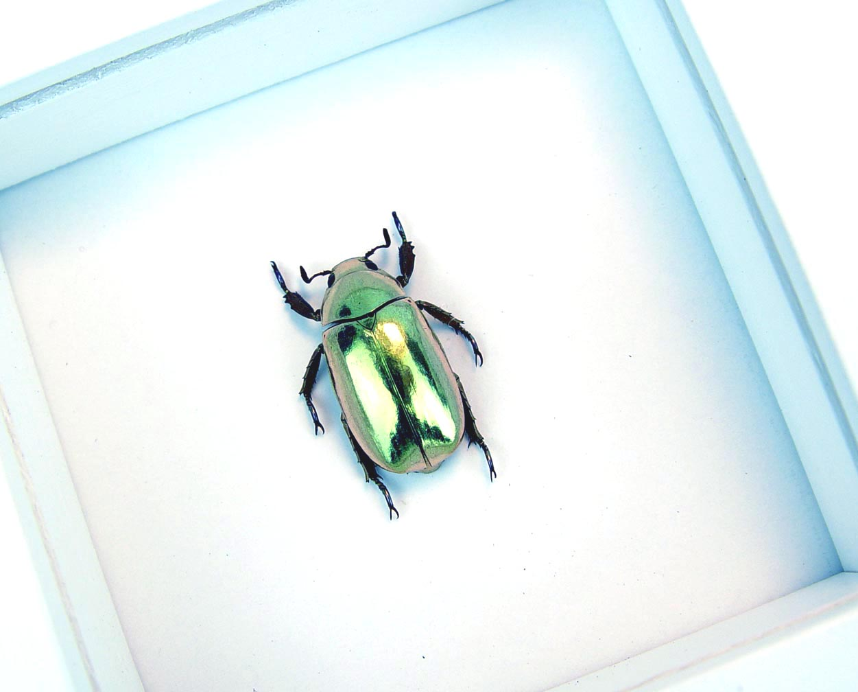 Gold Scarab Beetle Framed Chrysina resplendens Vibrant White Display
