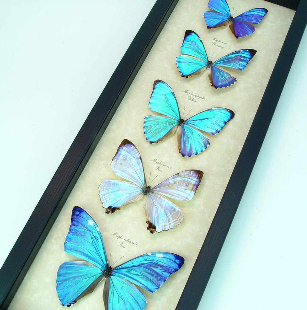 Diamond Morpho Butterfly Collection Real Framed Butterflies ooak