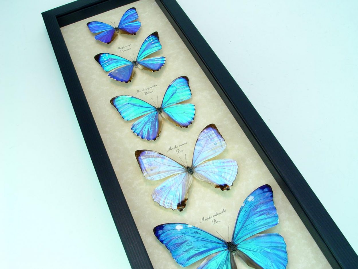 Diamond Morpho Mother's Day Butterflies Butterfly Collection