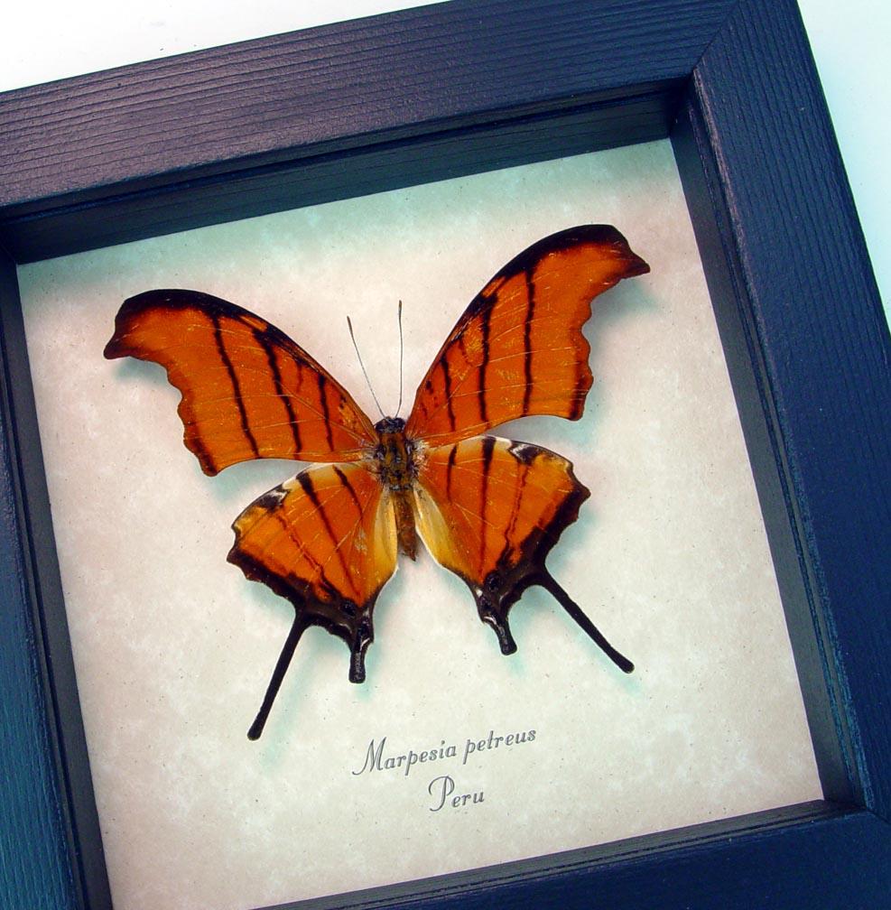 Marpesia petreus Ruddy Dagger wing Framed Butterfly ooak