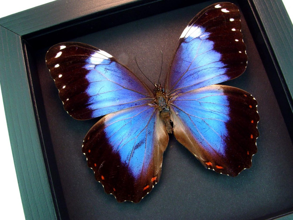 Framed Morpho helenor violaceus Violet Butterfly Moonlight Display ooak