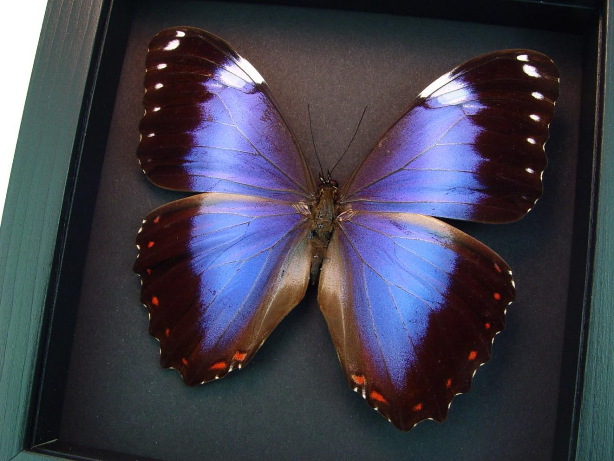 Violet Butterfly Morpho helenor violaceus Moonlight Display ooak