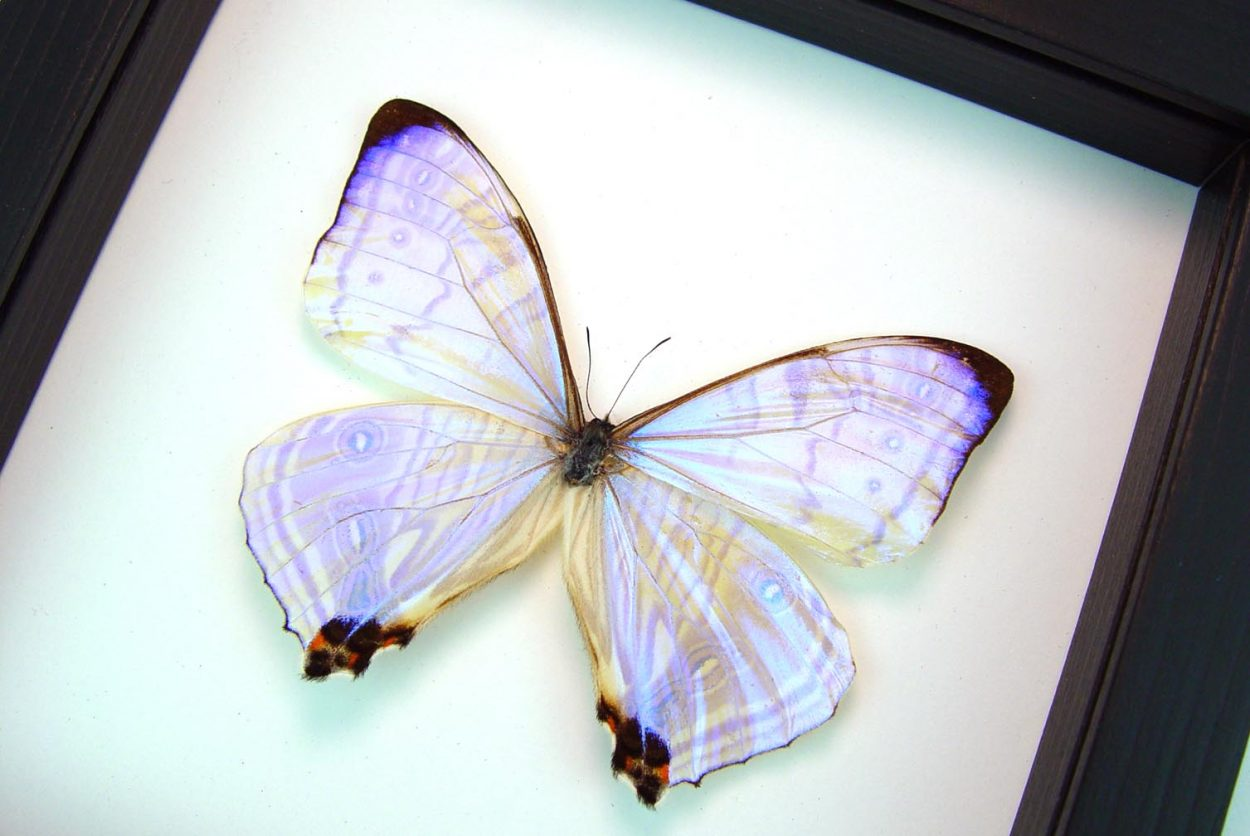 Morpho sulkowski Mother Of Pearl Butterfly Classic Black Display