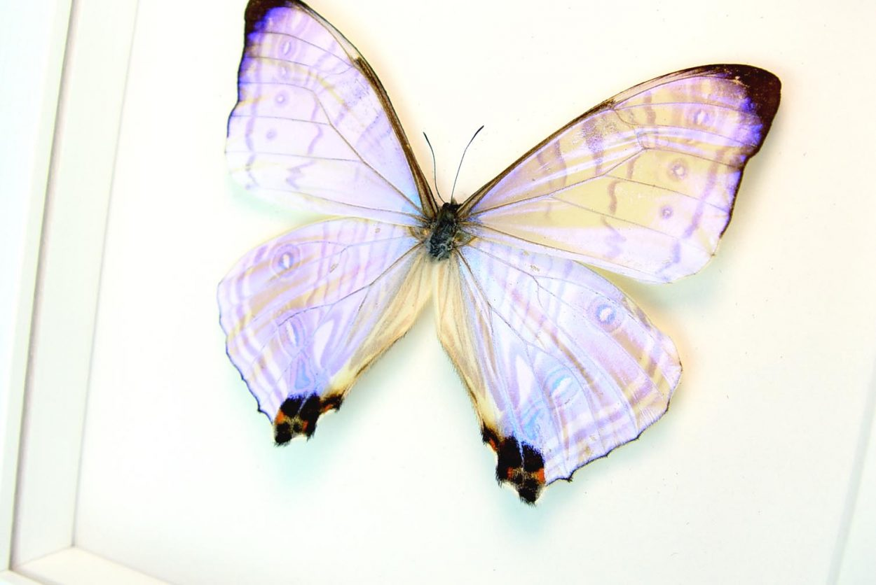 Morpho sulkowski Mother Of Pearl Butterfly Vibrant White Display