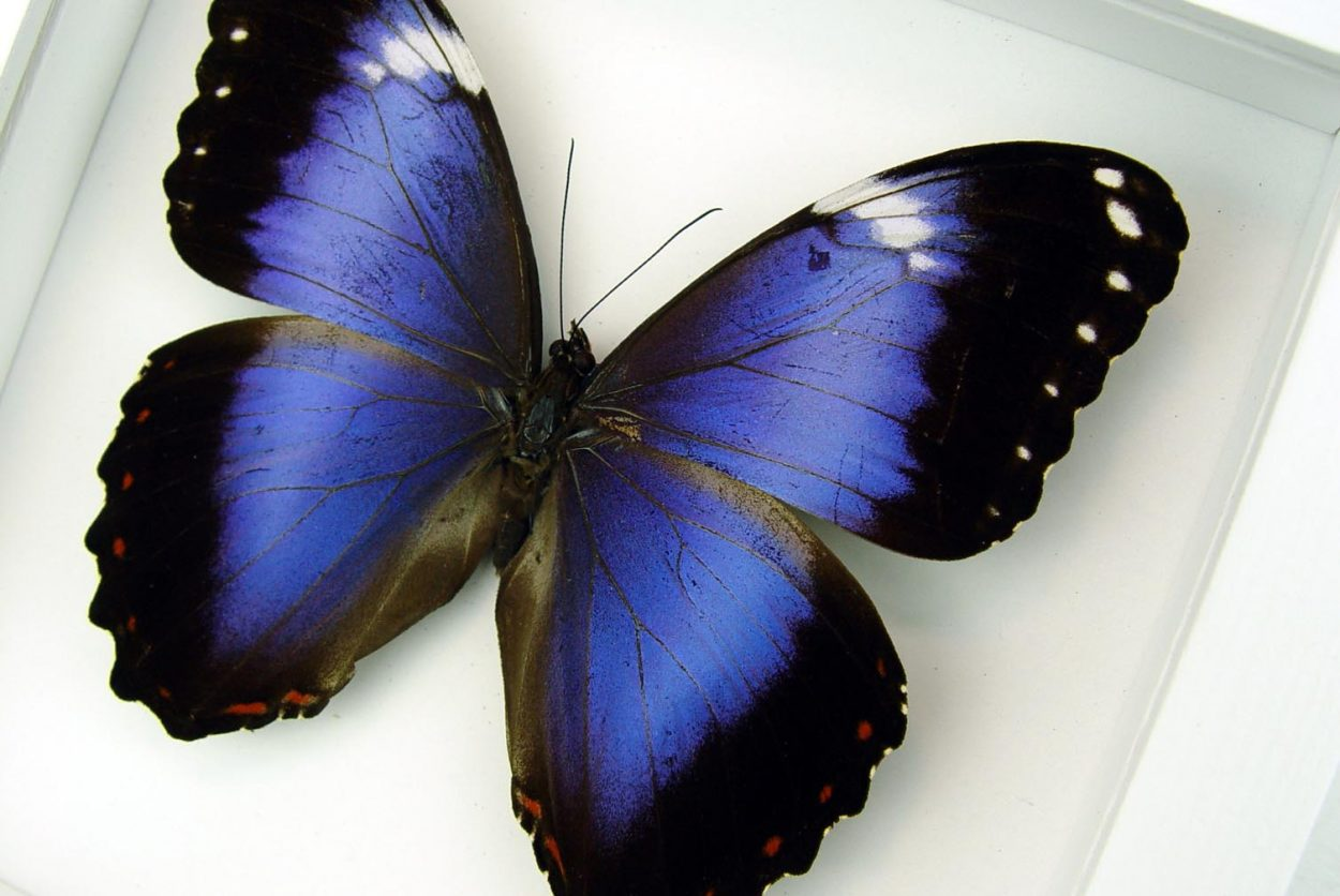 Violet Butterfly Morpho helenor violaceus Vibrant White Display