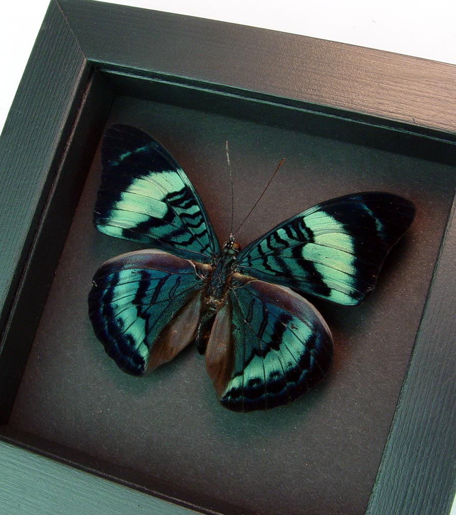 Queen Flasher Butterfly Panacea regina Moonlight Display ooak