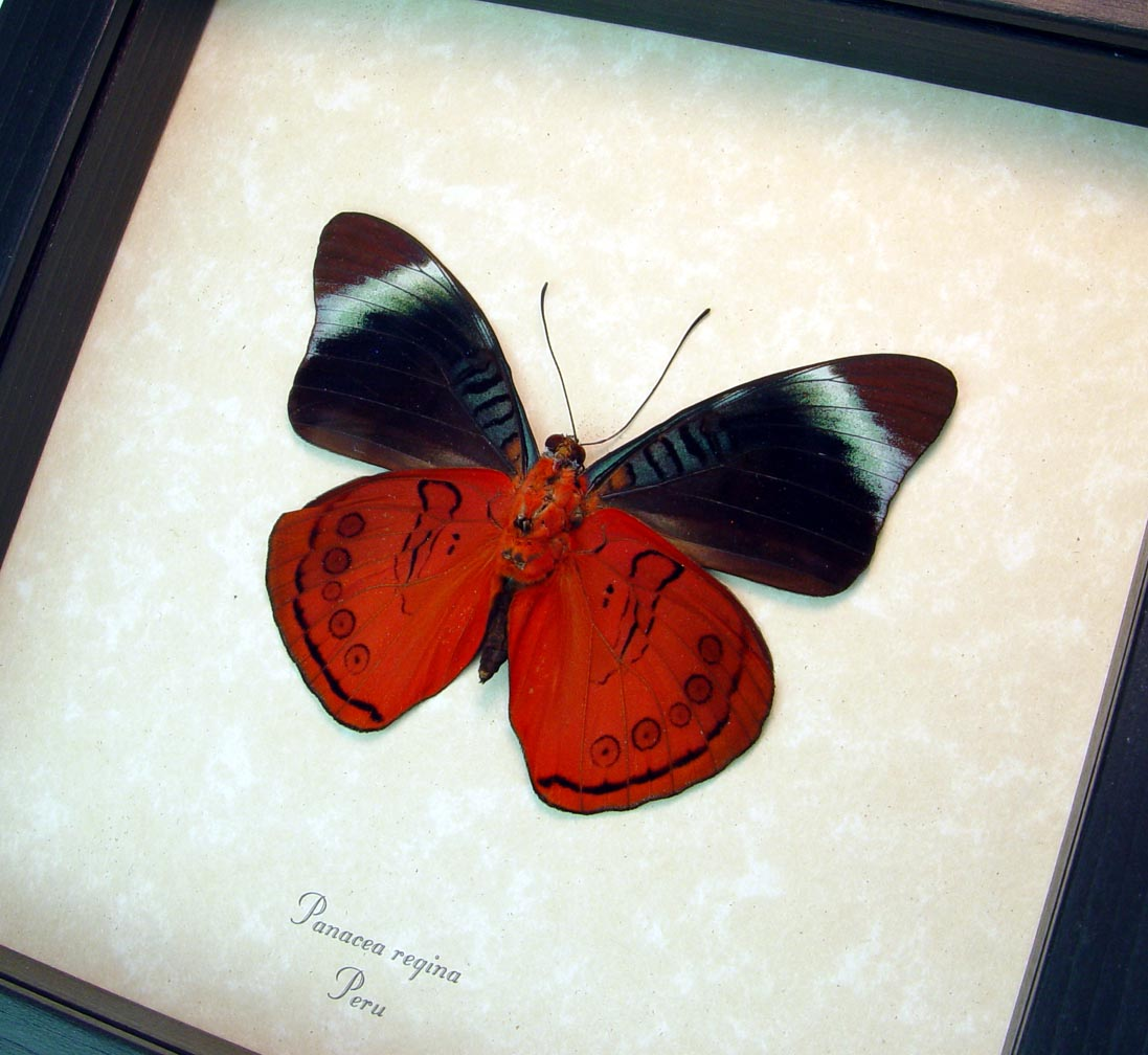 Framed Panacea regina Verso Queen Flasher Butterfly ooak