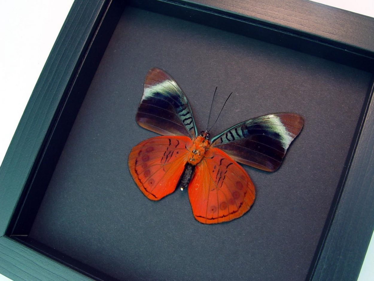 Framed Panacea regina Verso Queen Flasher Butterfly Moonlight Display ooak