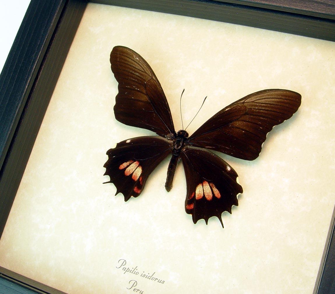 Papilio isidorus Pink swallowtail Black Butterfly ooak
