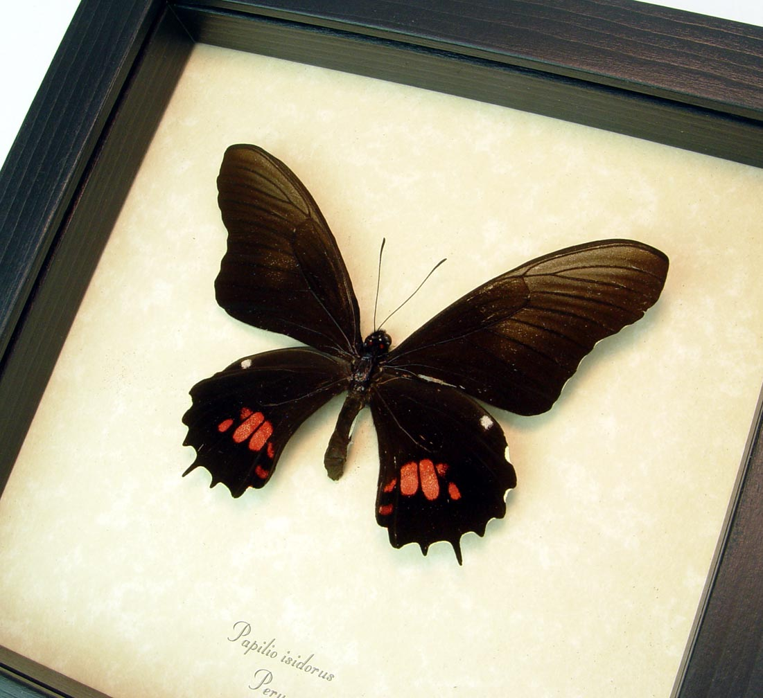 Framed Papilio isidorus Pink swallowtail Black Butterfly ooak