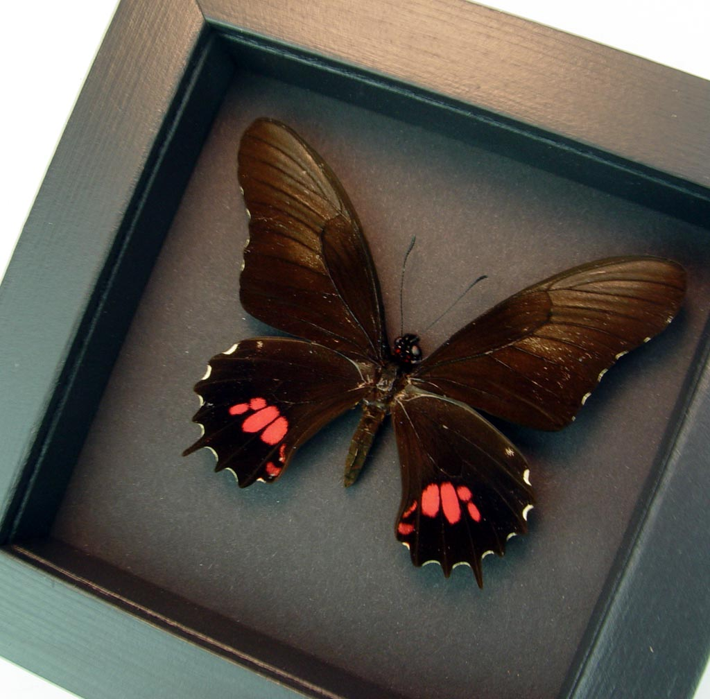 Framed Papilio isidorus Pink swallowtail Black Butterfly Moonlight Display ooak