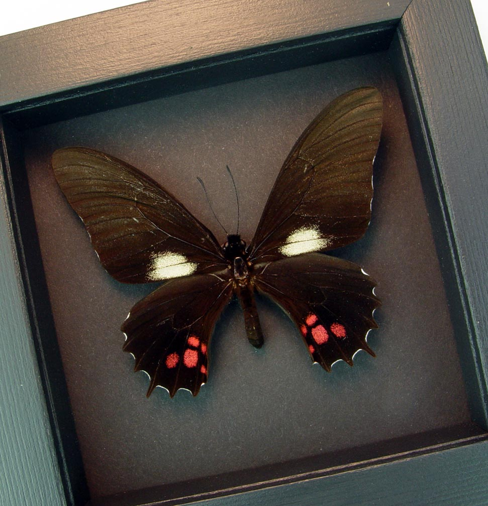 Pink swallowtail Black Butterfly Papilio isidorus Moonlight Display ooak