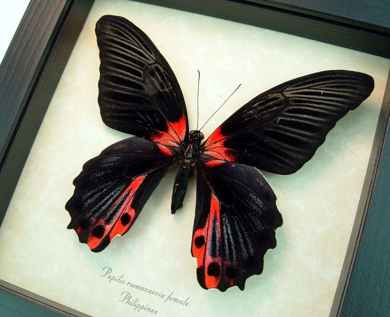 Papilio rumanzovia female Scarlet Mormon Butterfly ooak