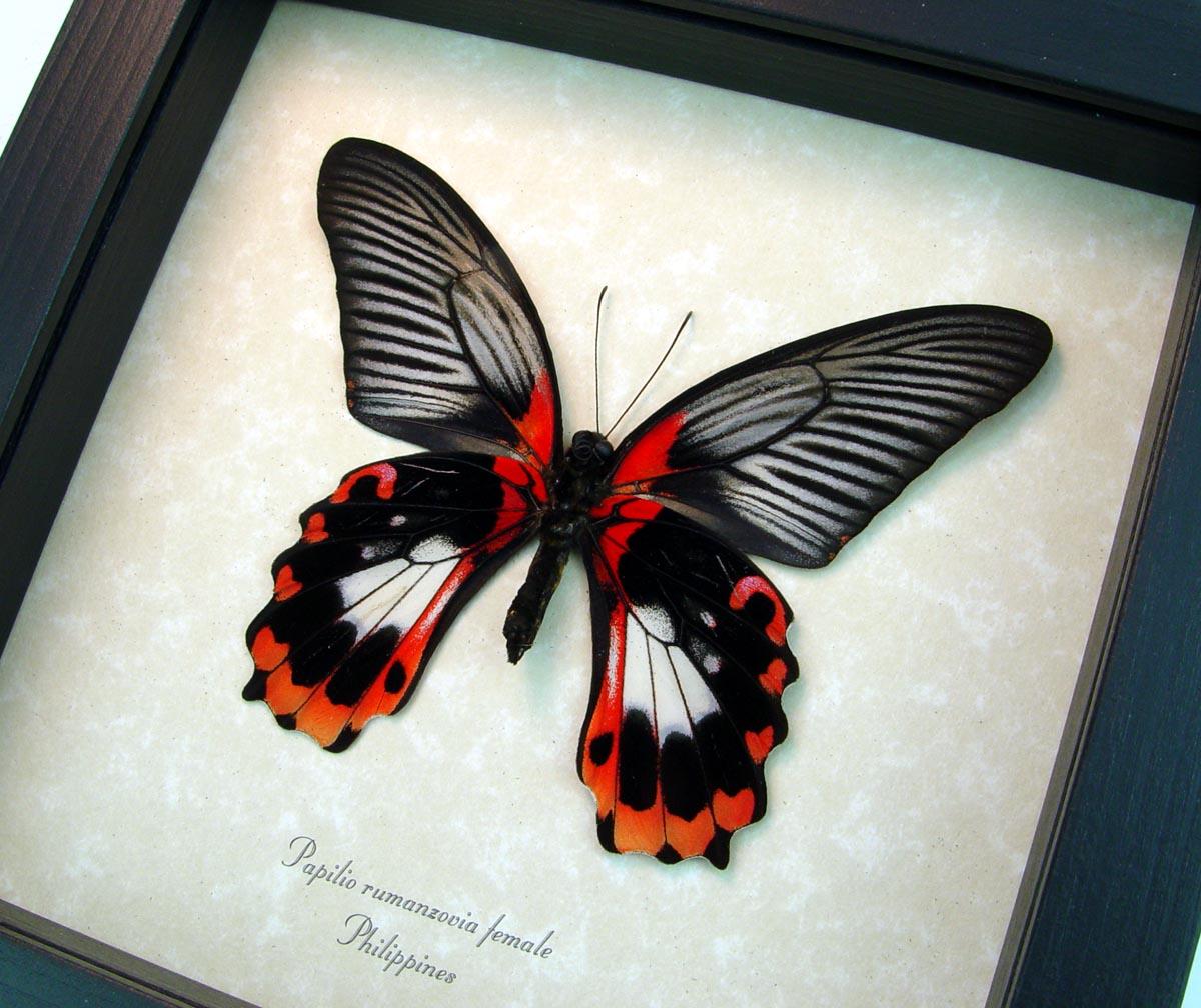 Papilio rumanzovia female verso Scarlet Mormon Butterfly ooak
