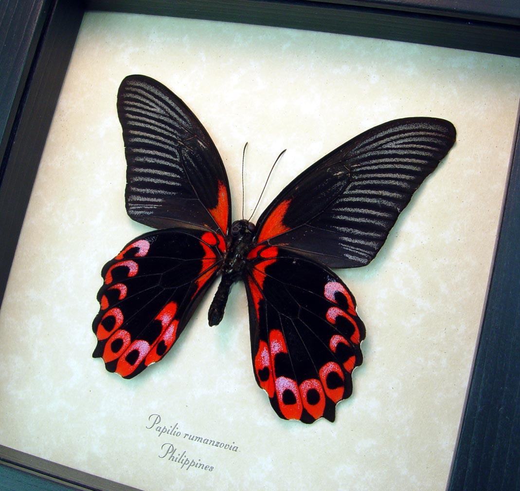 Papilio rumanzovia verso Scarlet Mormon Butterfly ooak