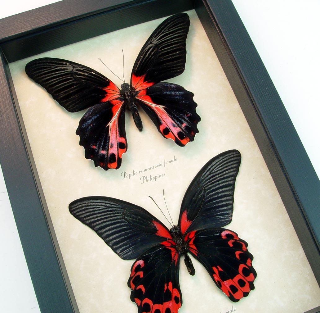Papilio rumanzovia Pair Scarlett Mormon Red Black Butterflies