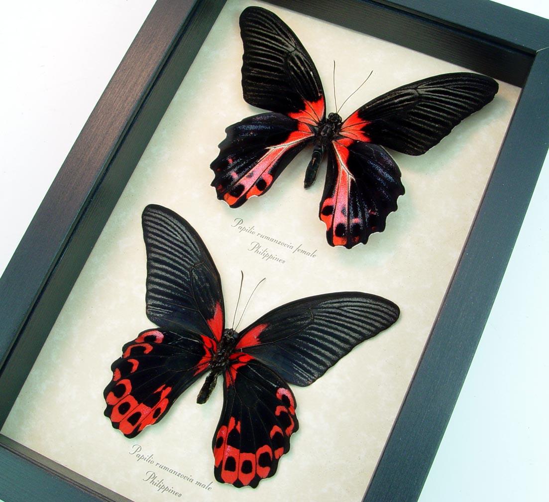 Papilio rumanzovia Pair Scarlett Mormon Red Black Butterflies ooak