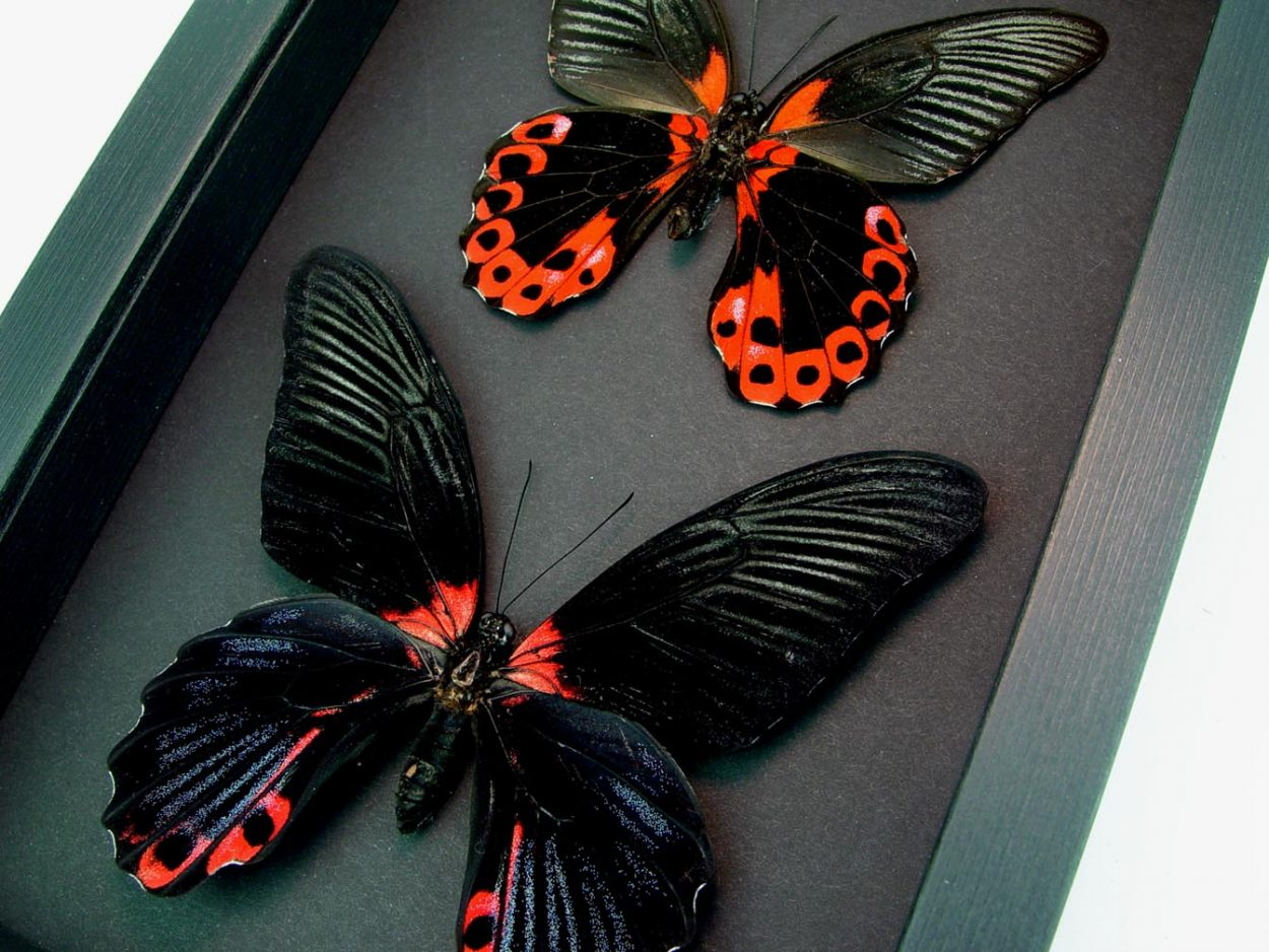 Papilio rumanzovia Pair Scarlett Mormon Red Black Butterflies Moonlight Display